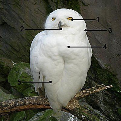 identify snowy owls