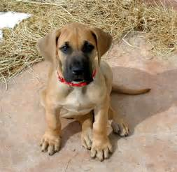 Great dane price in india great dane puppy for sale in bhopal india