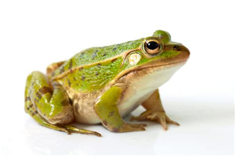 Fl Rana researchers use frog mucus to fight the flu luisjimenez