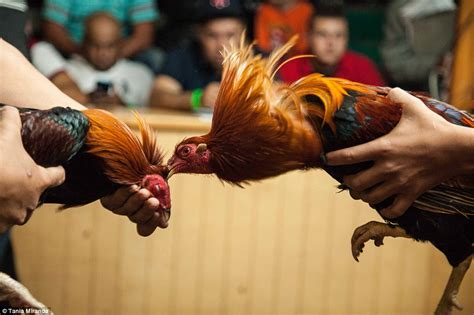 are there any advantages in consuming rooster mexican prize fighter juan carlos padilla gives his