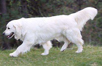 golden retriever puppies portland best 25 golden retriever puppies ideas on retriever puppy golden puppy
