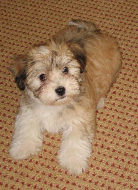 havanese puppies michigan 17 best ideas about havanese puppies on puppies dogs and