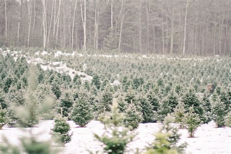 shopper s diary a christmas tree farm in maine gardenista