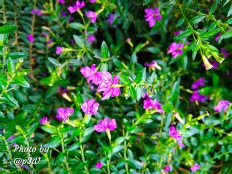 bunga ungu kecil steemit