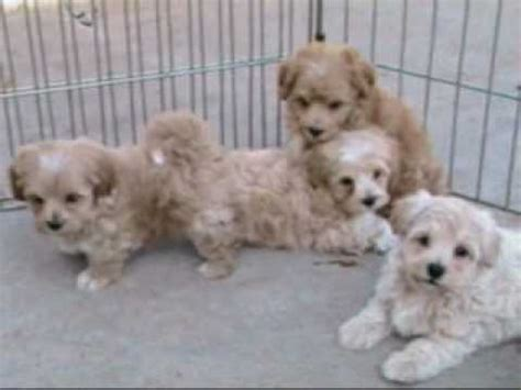 rolling puppies maltipoo puppies by rolling puppies wmv