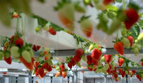 coltivare fragole in casa coltivazione idroponica per fragole