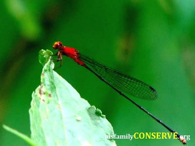 Khazanah Flora Dan Fauna Nusantara alam flora fauna nusantara pukau warna capung