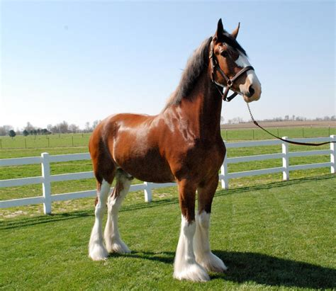 clydesdale breeders of the usa national clydesdale sale archives clydesdale breeders of the usa