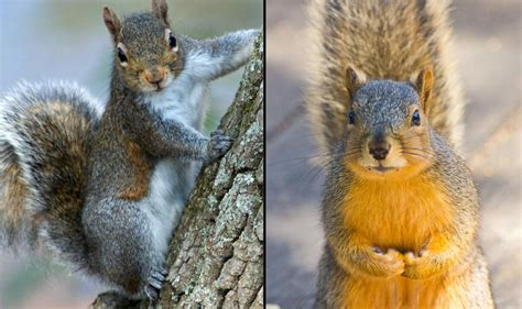 share your squirrel stories with chicago researchers