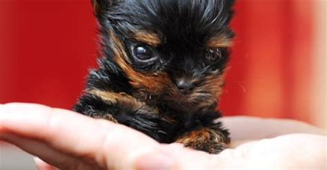 smallest teacup yorkie in the world s journey the smallest in the world