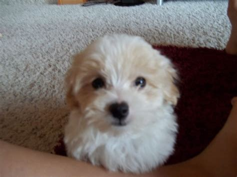 morkiepoo puppies morkie poo puppies pictures to pin on pinsdaddy