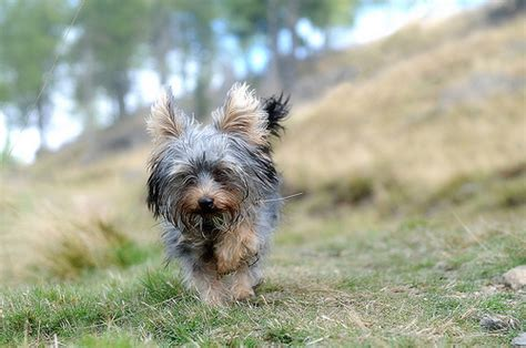 yorkie running 27 pictures of terriers