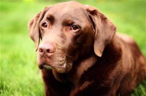 average lifespan average span for a labrador retriever 1001doggy