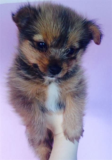pomeranian yorkie puppies for sale terrier x pomeranian puppies for sale northwich cheshire pets4homes