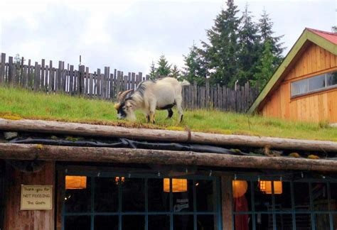 on the roof spotted goats on the roof garden therapy