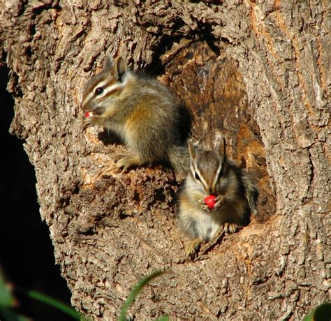 pics of baby chipmunks images