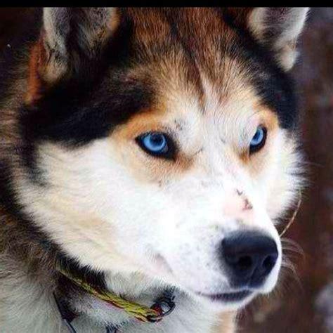 wolf husky mix puppies wolf husky hybrid beautiful dogs wildlife