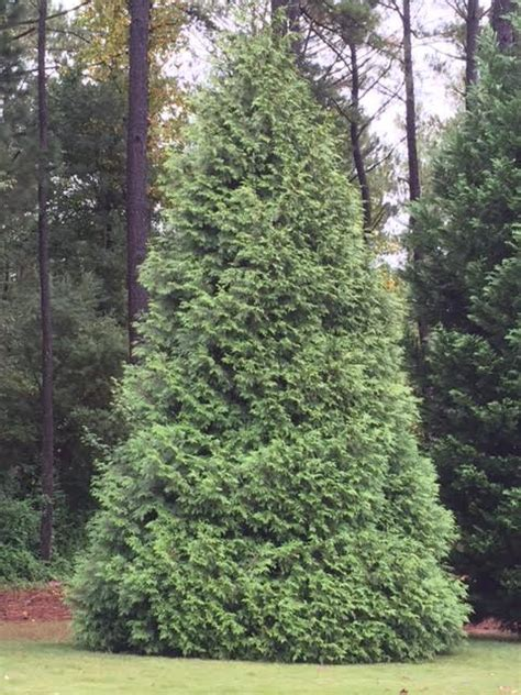 bradford pine miracle christmas tree by puleo thuja standishii x plicata green the home depot community