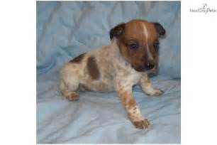 Search Blue Heeler Puppies For Sale In Alabama » Home Design 2017