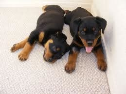 rottweiler puppy potty my 9 week puppy is potty trained thedogtrainingsecret