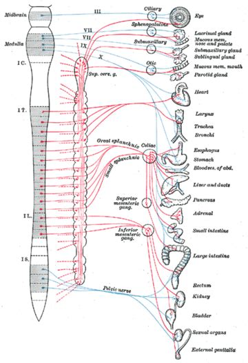 autonomic nervous system  world encyclopedia