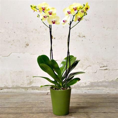 cura delle orchidee in appartamento phalaenopsis cura orchidee phalaenopsis cura
