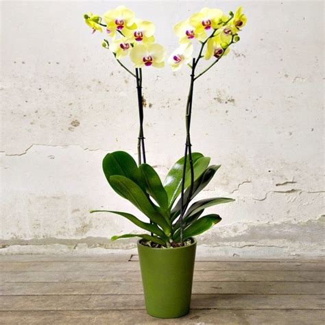 manutenzione orchidee in vaso phalaenopsis cura orchidee phalaenopsis cura
