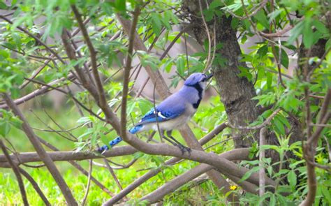 how to attract blue jays to your backyard how to attract blue jays to your backyard 28 images how to attract birds to your