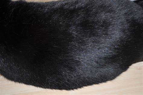 schuppen bei katzen katze mit schuppen trockener haut und stumpfem fell