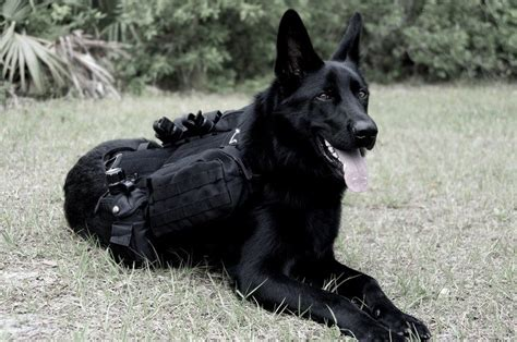 how to put weight on a puppy how to put weight on a benefit from a weight vest