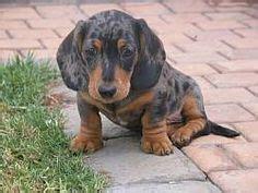 silver dapple miniature dachshund puppies for sale daschund puppies for sale on dachshund puppies for sale and puppies