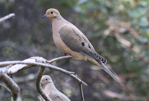 mourning dove columbiformes doves wild pigeons pinterest
