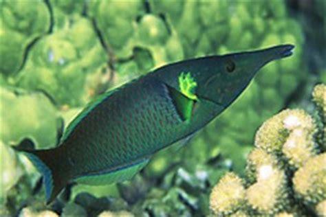 image gomphosus caeruleus blue green bird wrasse gomphosus caeruleus
