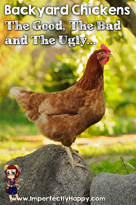 Backyard Chickens Need Rooster Backyard Chickens The Bad And Imperfectly Happy
