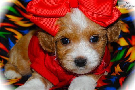 maltipoo puppies for sale in dallas malti poo maltipoo puppy for sale near dallas fort worth e75a8fb1 8ab1