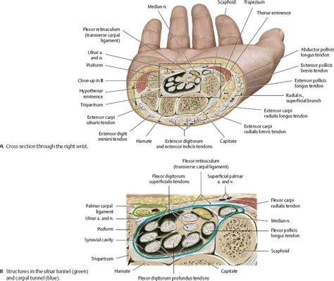carpal tunnel cross section neurovasculature atlas of anatomy