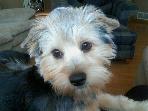 yorkie bichon mix for sale yorkie tanks and so on