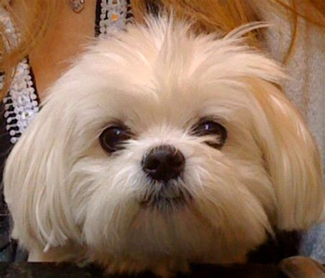 shih tzu knee problems what causes patellar luxation patellar luxation is most commonly breeds picture