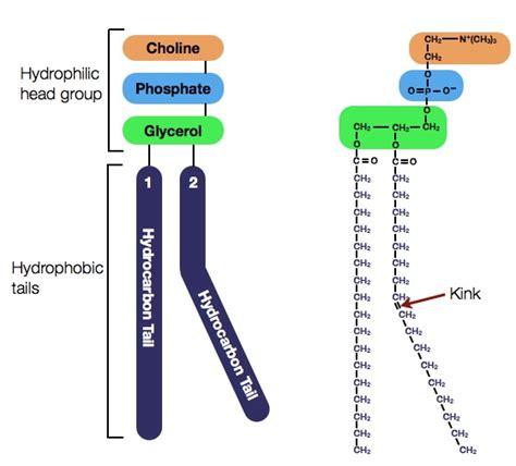 diagram of phospholipid phospholipids