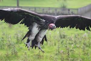 4 Meters To Feet File Lappet Faced Vulture 4 Jpg Wikimedia Commons