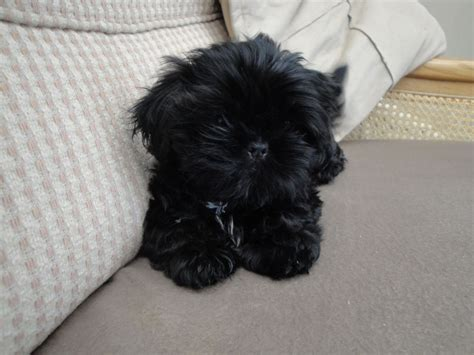 black shih tzu puppy black shih tzu puppy kc reg leyland lancashire pets4homes