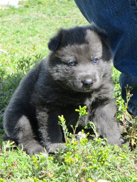 blue bay shepherd puppies 37 best images about shepard breeds on wolves puppys and chennai