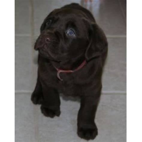 labrador retriever puppies indiana labs labrador retriever breeder in winamac indiana listing id 17512