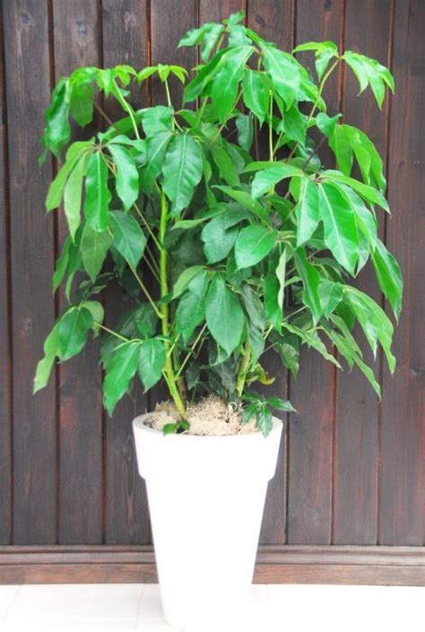 umbrella plant schefflera amate large plant decor