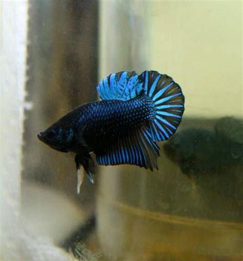 cing bett king halfmoon betta fish 6 flickr photo