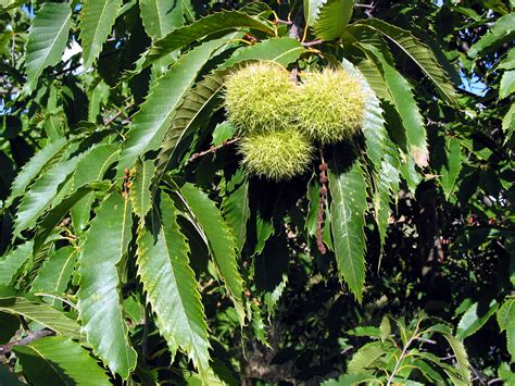 chestnut trees to spread across landscape again says purdue scientist