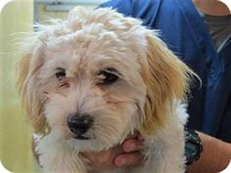 havanese cockapoo mix dogs needing help on havanese dogs adoption and maltese
