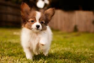 top 10 worlds smartest dog breeds dog breeds picture