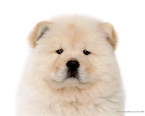 chow dogs chow chow puppy pictures puppy pictures and information