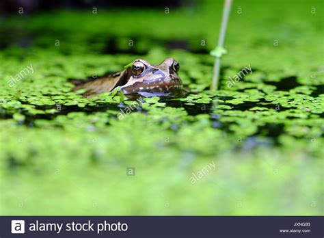 Garden Frogs by Water Feature Garden Frog Stock Photos Water Feature